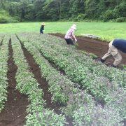 ホーリーバジル 刈り取り作業
